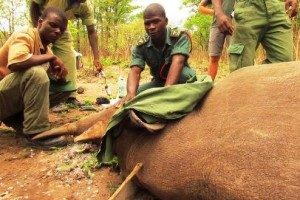 Black rhino anti-poaching and monitoring at Liwonde National Park