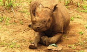Black rhino anti-poaching and monitoring at Liwonde National Park